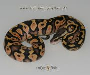 1.0 Pastel Yellow Belly